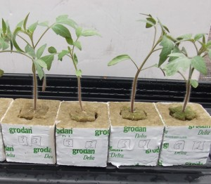 tomato seedlings in larger cubes