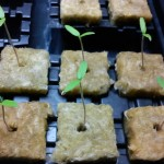 Tomato seedlings 7 days after sowing in rockwool